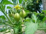 0529_tomato